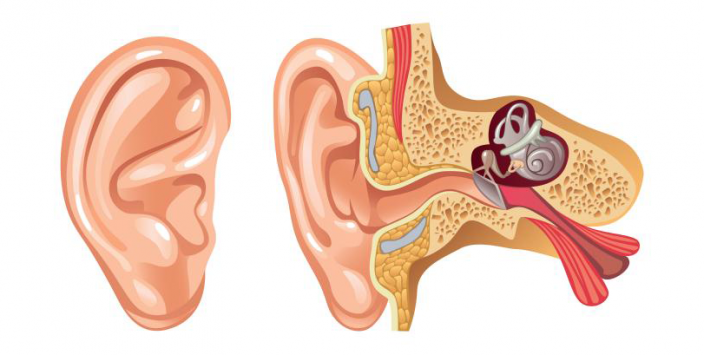 Human hearing system